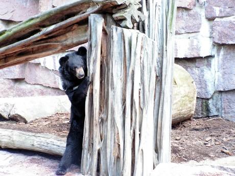 Bär spielt verstecken