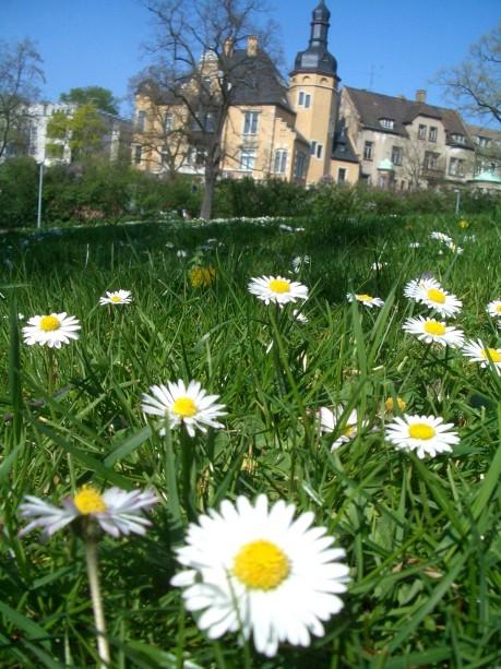 Wiese mit Ganseblümchen im Stadtpark