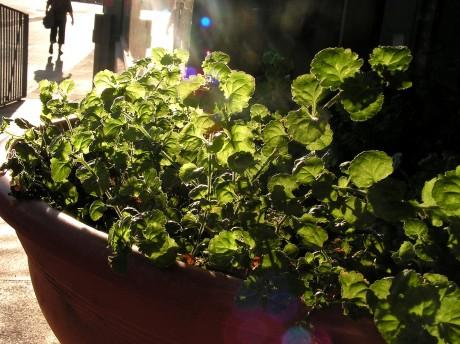 [lang_de]Grünes im Blumenkübel[/lang_de][lang_en]Green plants in a flowerpot[/lang_en]