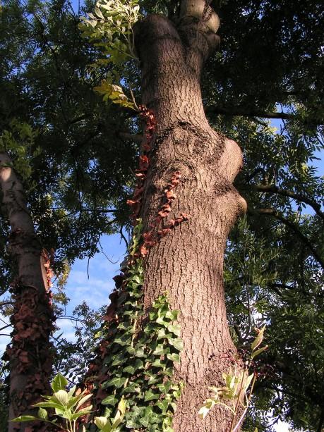 [lang_de]Herbstliches Efeu[/lang_de][lang_en]Autumnally Ivy[/lang_en]