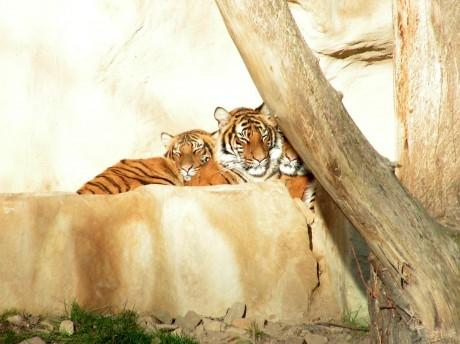 Kuschelnde Tiger