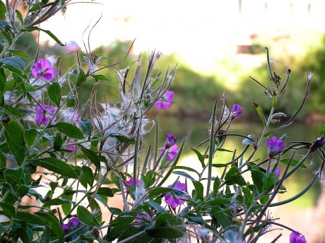 [lang_de]Lila Blüten an der Saale[/lang_de][lang_en]Lila blossoms at the Saale[/lang_en]