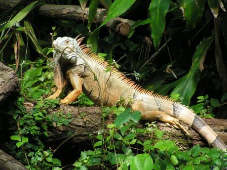 Noch ein Leguan