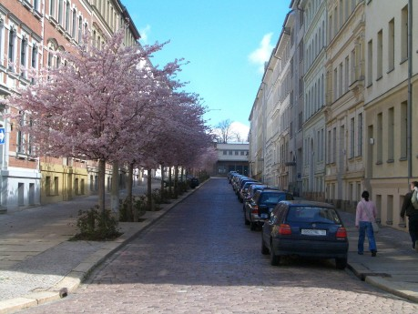 Blühende Kirschbäume in der Parkstraße in Halle