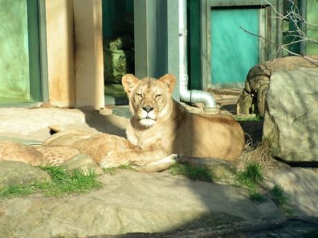 Stolze Löwenmama