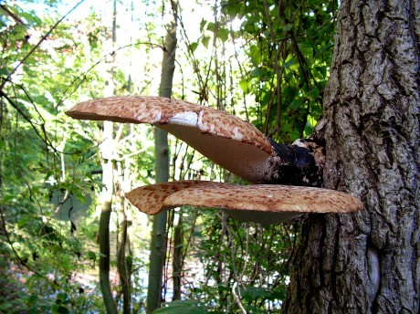 [lang_de]Toller Baumpilz[/lang_de][lang_en]Nice mushroom on a tree[/lang_en]