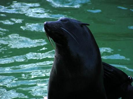 Verträumter Seebär